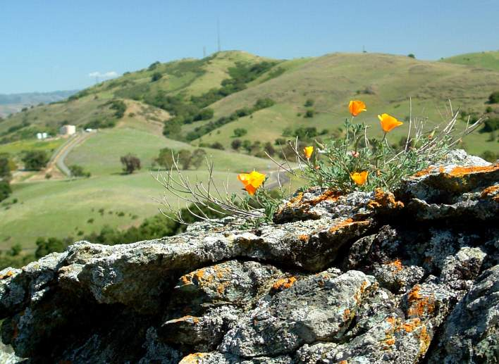 Poppies, Coyote Peak